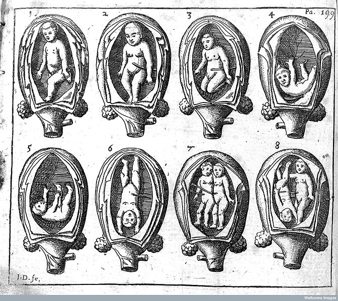 Foetus_in_the_womb